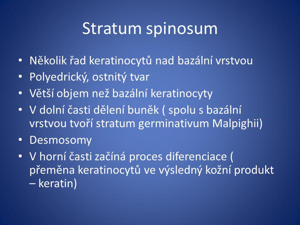 Stratum spinosum Několik řad keratinocytů nad bazální vrstvou Polyedrický, ostnitý tvar Větší objem než bazální keratinocyty V dolní časti dělení buně