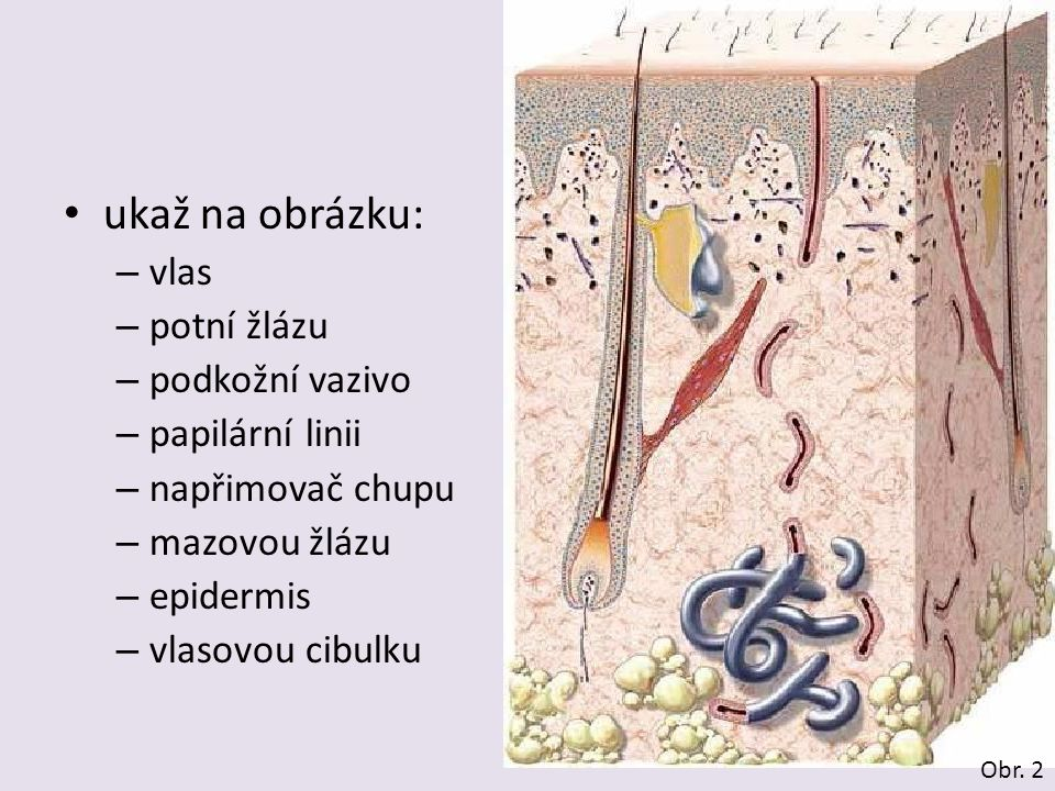 ukaž na obrázku: – vlas – potní žlázu – podkožní vazivo – papilární linii – napřimovač chupu – mazovou žlázu – epidermis – vlasovou cibulku Obr. 2
