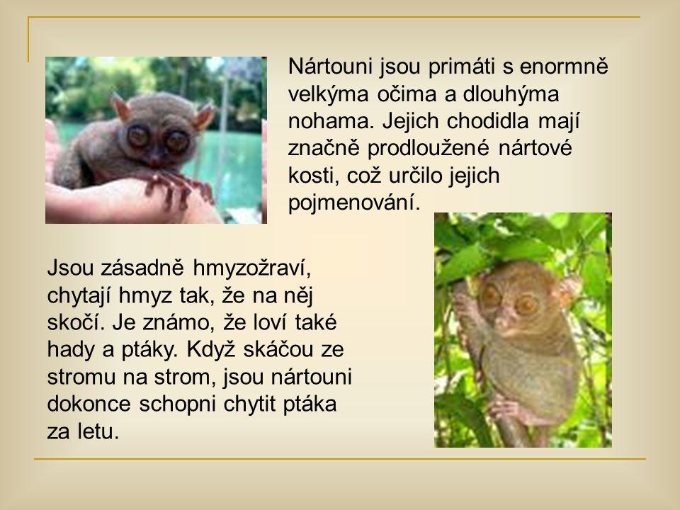 Nártouni jsou primáti s enormně velkýma očima a dlouhýma nohama. Jejich chodidla mají značně prodloužené nártové kosti, což určilo jejich pojmenování.