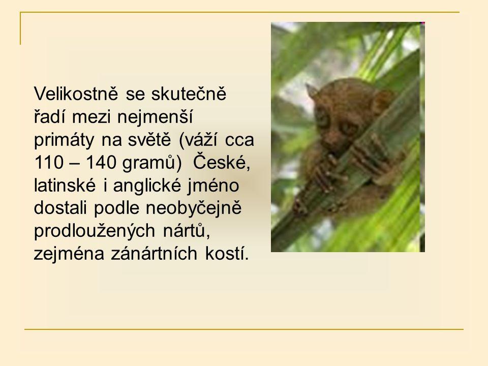 Velikostně se skutečně řadí mezi nejmenší primáty na světě (váží cca 110 – 140 gramů) České, latinské i anglické jméno dostali podle neobyčejně prodlo