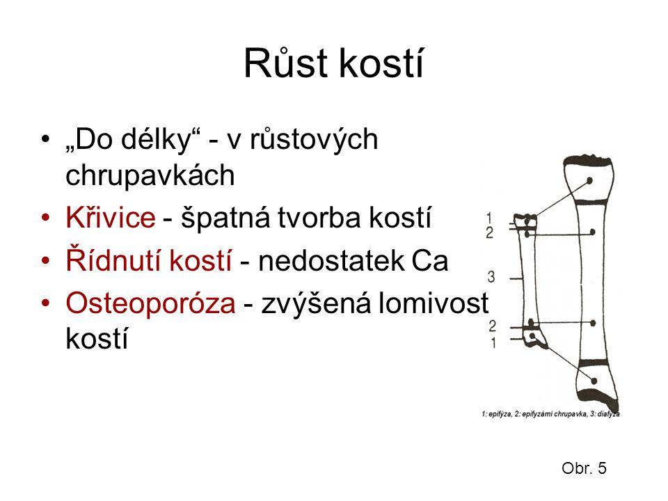 """Růst kostí """"Do délky"""" - v růstových chrupavkách Křivice - špatná tvorba kostí Řídnutí kostí - nedostatek Ca Osteoporóza - zvýšená lomivost kostí Obr."""
