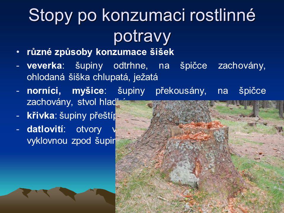 Stopy po konzumaci rostlinné potravy různé způsoby konzumace šišek -veverka: šupiny odtrhne, na špičce zachovány, ohlodaná šiška chlupatá, ježatá -nor