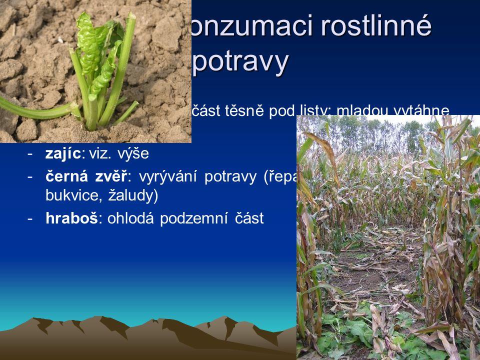 Stopy po konzumaci rostlinné potravy konzumace řepy: -jelen: jen nadzemní část těsně pod listy; mladou vytáhne celou -zajíc: viz. výše -černá zvěř: vy