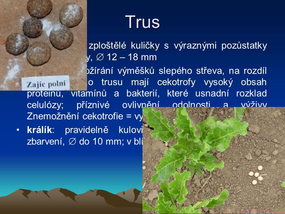 Trus zajíc: hnědé, zploštělé kuličky s výraznými pozůstatky rostlinné stravy,  12 – 18 mm -cekotrofie: požírání výměšků slepého střeva, na rozdíl od