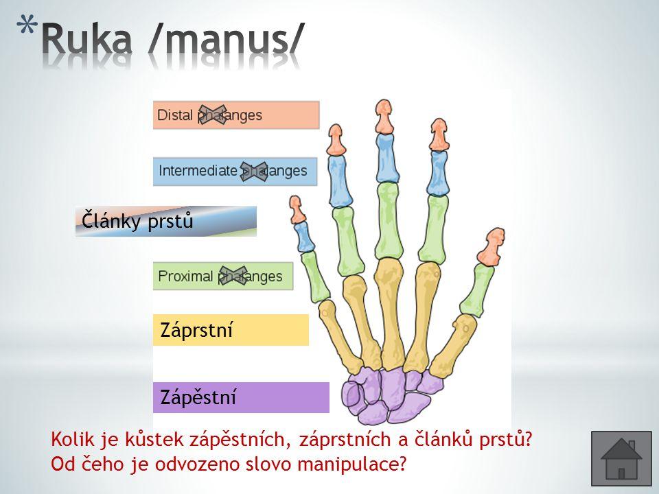 Zápěstní Záprstní Články prstů Kolik je kůstek zápěstních, záprstních a článků prstů? Od čeho je odvozeno slovo manipulace?