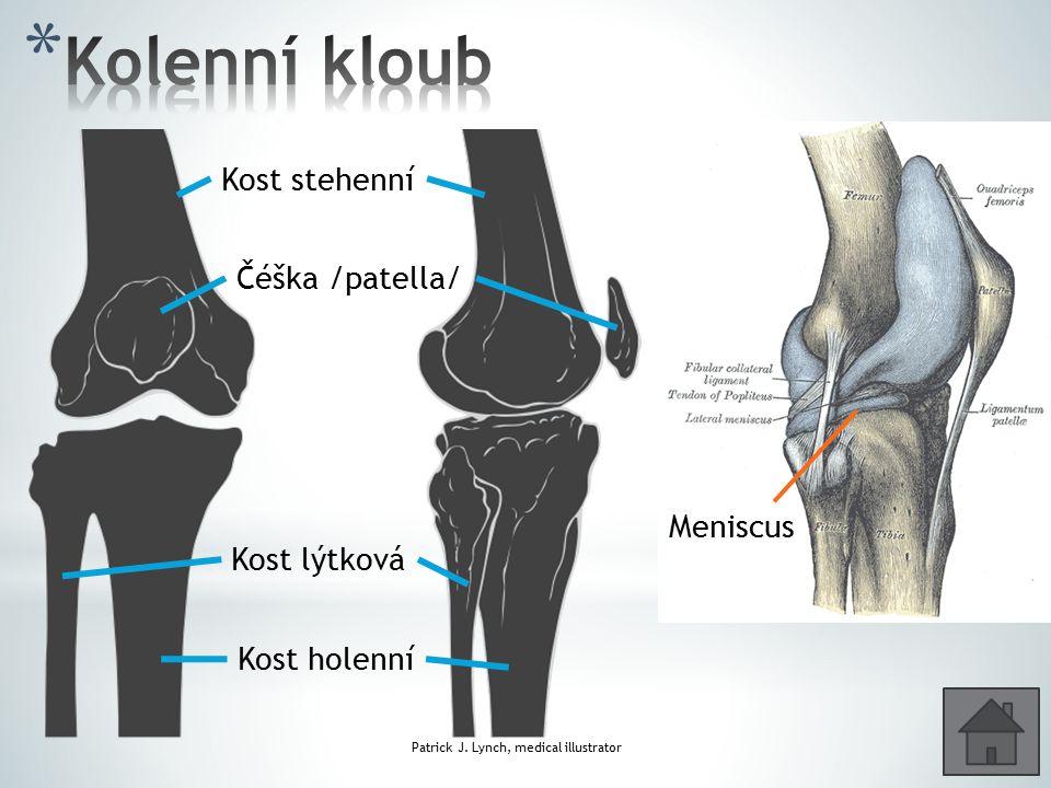 Patrick J. Lynch, medical illustrator Kost lýtková Kost holenní Kost stehenní Čéška /patella/ Meniscus