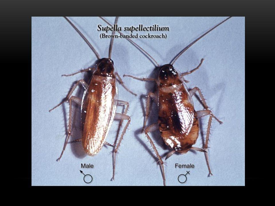 TYPICKÉ ZNAKY Barevně jsou šváby zpravidla nevýrazní, tělo nejčastěji hnědé, hnědočerné či nažloutlé (tropičtí švábi mají i výrazné barvy) Na hrudi je nejnápadnější rozšířená předohruď, která přímo navazuje na hlavu Křídla jsou složena ze dvou párů, se žilnatinou vytvářející síťovitou strukturu – přední pár mají plně vyvinuty pouze samci, u samic dochází ke zkrácení.