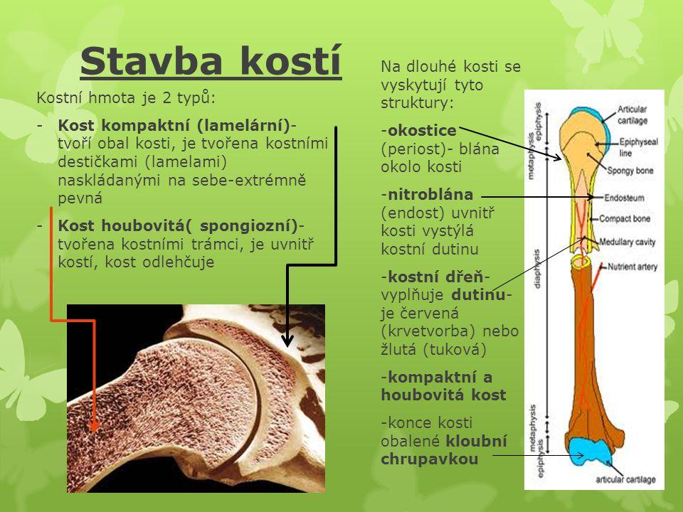 Růst a obnova kostí Dětská kostra je po narození převážně chrupavčitá, postupně se do ní začínají zabudovávat minerální látky- kost se osifikuje (kostnatí) Růst kosti probíhá přes růstovou chrupavku, ta se uzavírá díky hormonům ve věku 18- 20 let, vyjímečně až 25 let Zlomené kosti regenerují většinou velice dobře, plné zhojení je dosaženo po 3-4 měs.