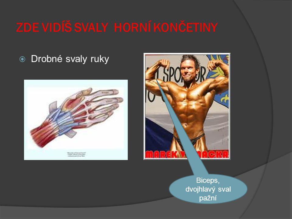 ZDE VIDÍŠ SVALY HORNÍ KONČETINY  Drobné svaly ruky Biceps, dvojhlavý sval pažní