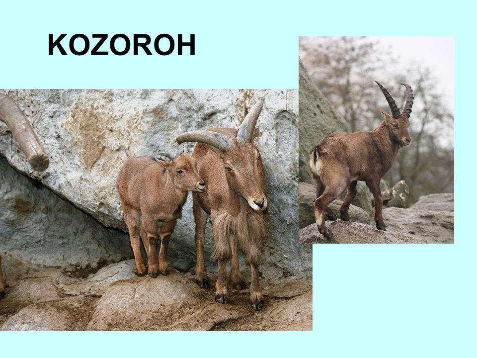 KOZOROH