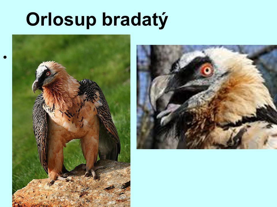 Orlosup bradatý