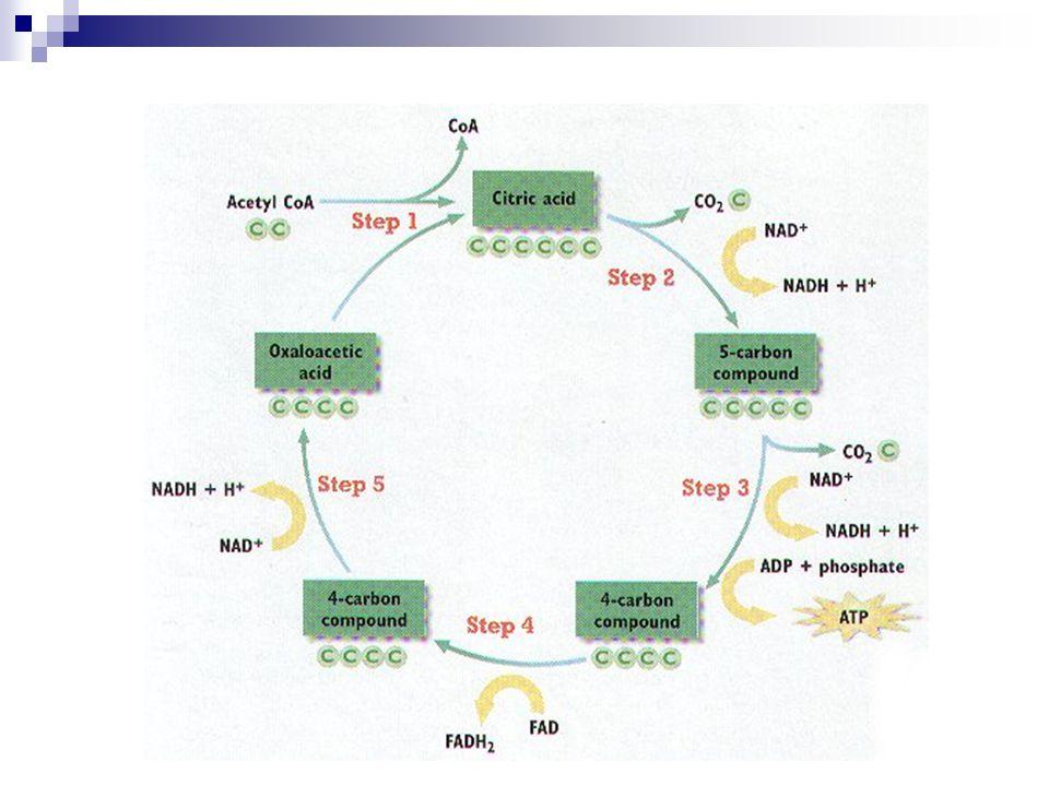 Dýchací řetězec s oxidativní fosforylací koenzymy uvolňují H a elektrony  vznik vody a uvolnění energie do ATP aerobní proces na vnitřní membráně mitochondrií