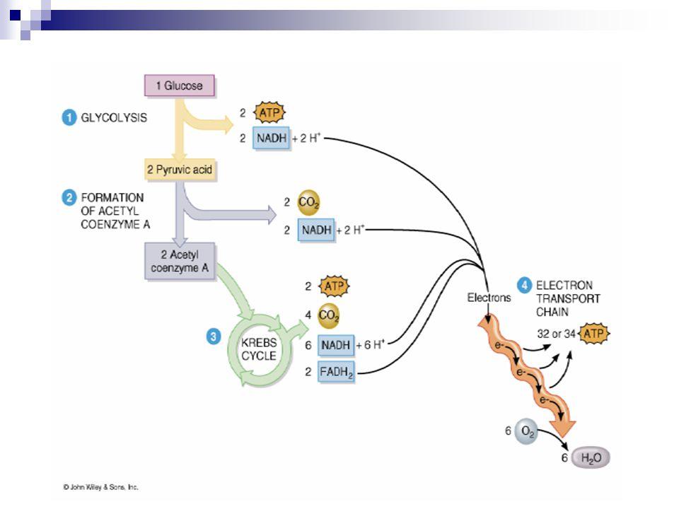 Glykolýza anaerobní proces probíhá v cytoplazmě vznikají 2 molekuly kyseliny pyrohroznové uvolněna energie 2 ATP vznik látky pro transport H a e -  NADH + H + ATP