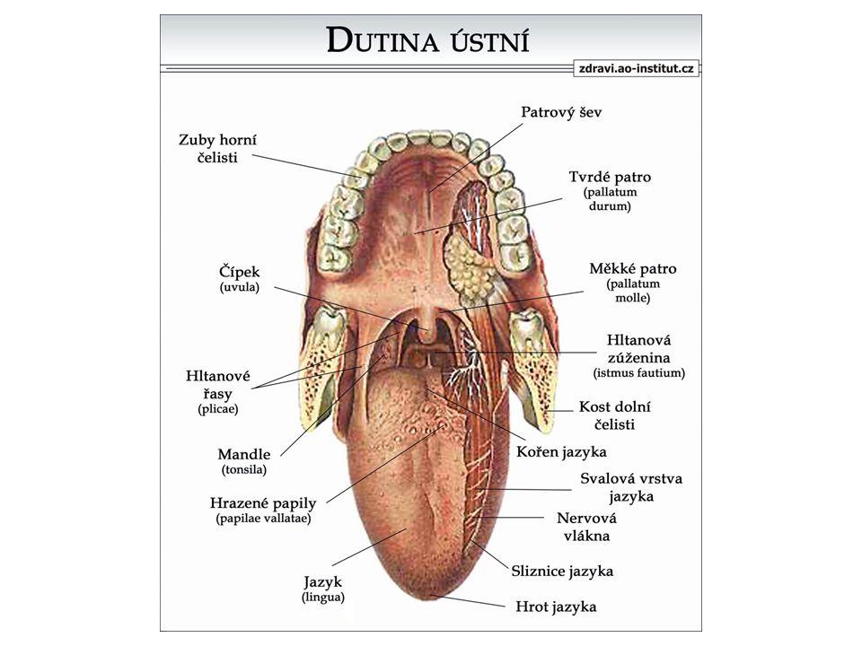 2. HLTAN Délka: 12 – 14 cm 3 oddíly: a) nosohltan b) ústní část c) hrtanová část