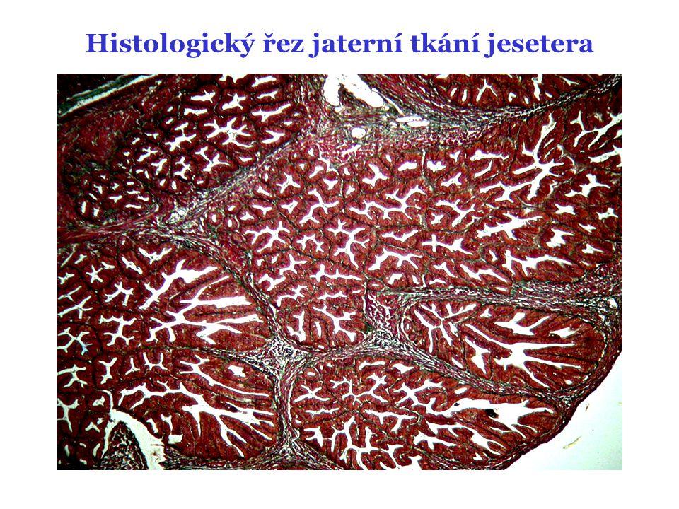 Histologický řez jaterní tkání jesetera