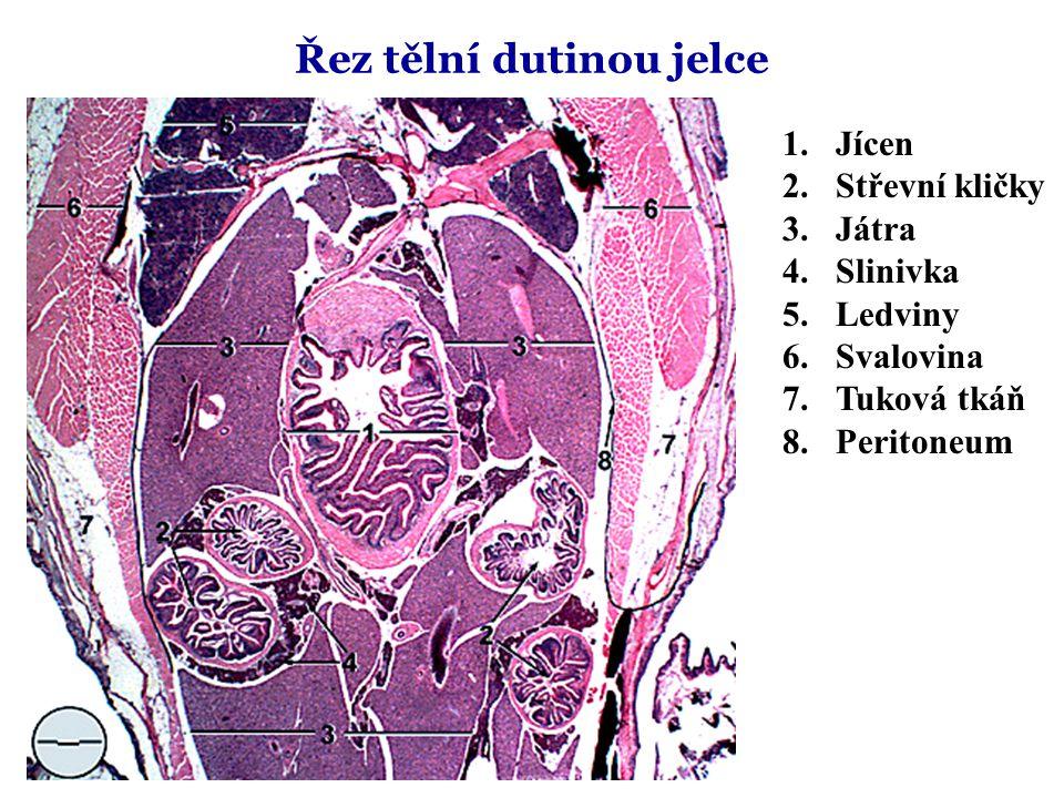 Řez tělní dutinou jelce 1.Jícen 2.Střevní kličky 3.Játra 4.Slinivka 5.Ledviny 6.Svalovina 7.Tuková tkáň 8.Peritoneum