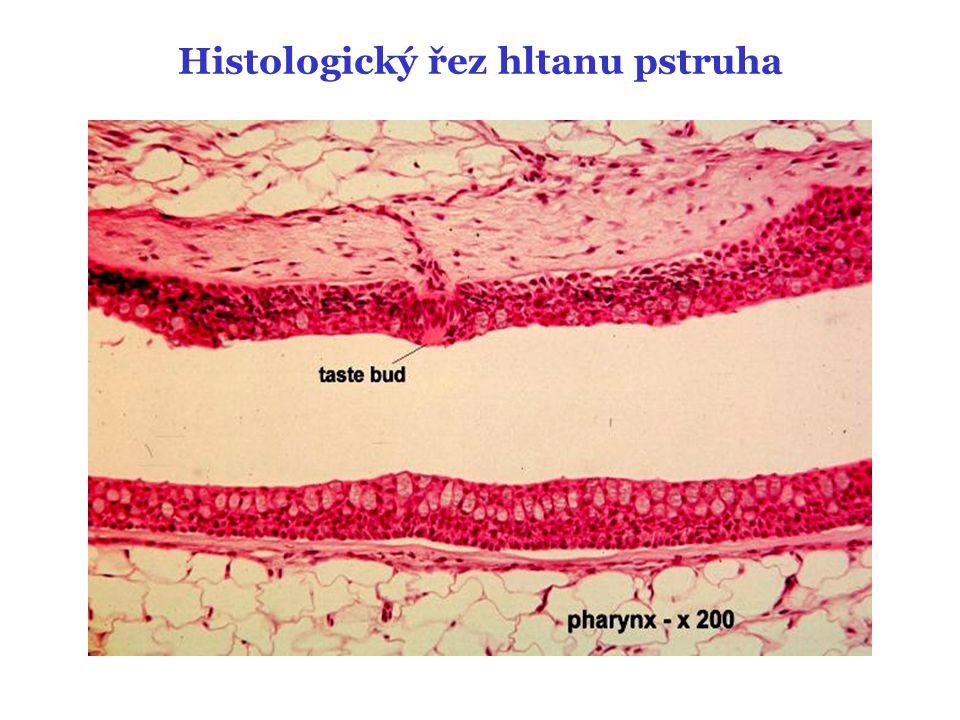 Histologický řez jícnu pstruha
