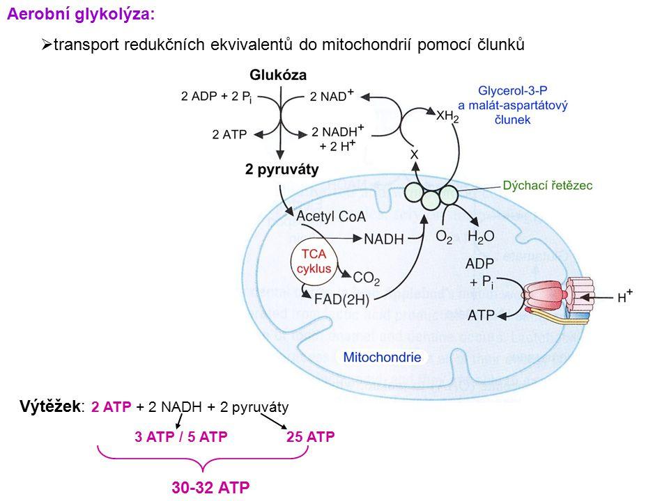Aerobní glykolýza:  transport redukčních ekvivalentů do mitochondrií pomocí člunků Výtěžek: 2 ATP + 2 NADH + 2 pyruváty 3 ATP / 5 ATP25 ATP 30-32 ATP