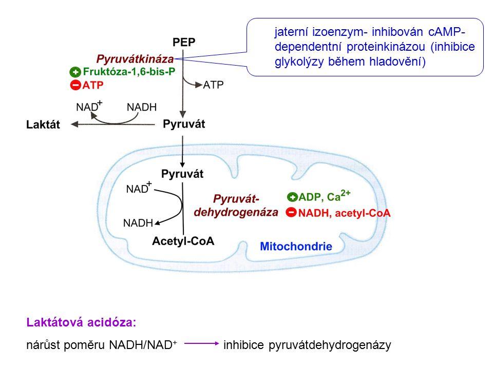 jaterní izoenzym- inhibován cAMP- dependentní proteinkinázou (inhibice glykolýzy během hladovění) Laktátová acidóza: nárůst poměru NADH/NAD + inhibice