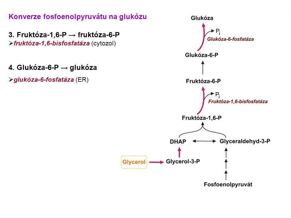 Konverze fosfoenolpyruvátu na glukózu 3. Fruktóza-1,6-P → fruktóza-6-P  fruktóza-1,6-bisfosfatáza (cytozol) 4. Glukóza-6-P → glukóza  glukóza-6-fosf
