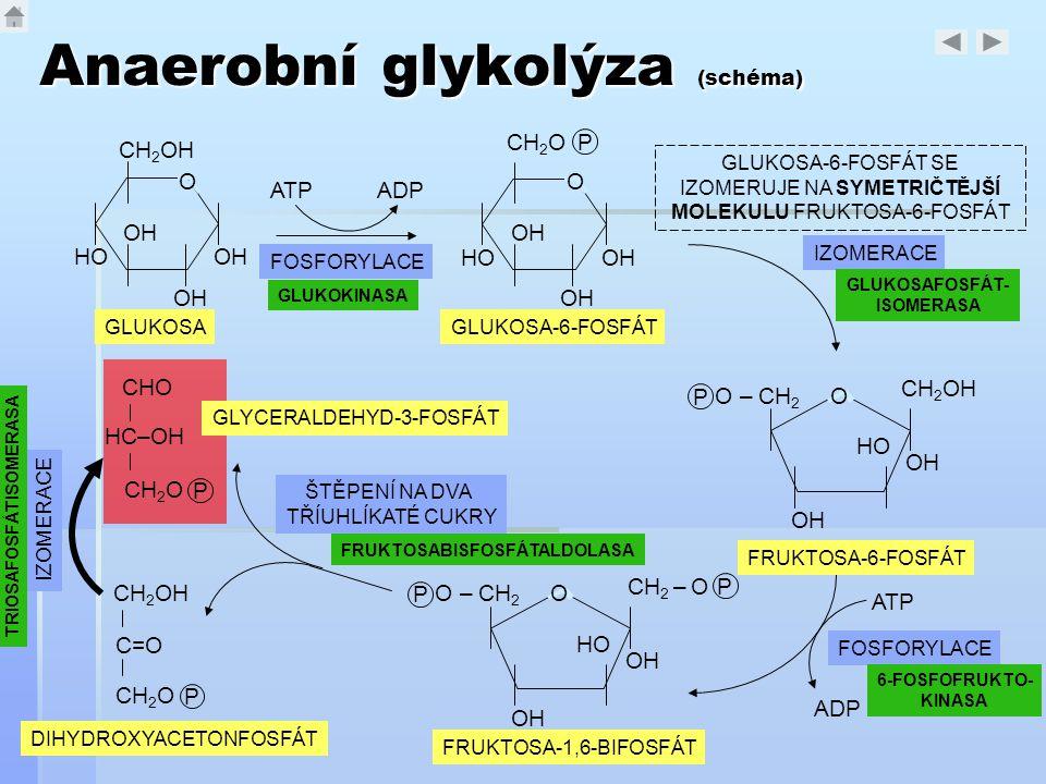Anaerobní glykolýza (schéma) OH O HO CH 2 OH GLUKOSA ATPADP FOSFORYLACE OH O HO CH 2 O P GLUKOSA-6-FOSFÁT P CH 2 – O O – CH 2 P OH HO O CH 2 OH O – CH