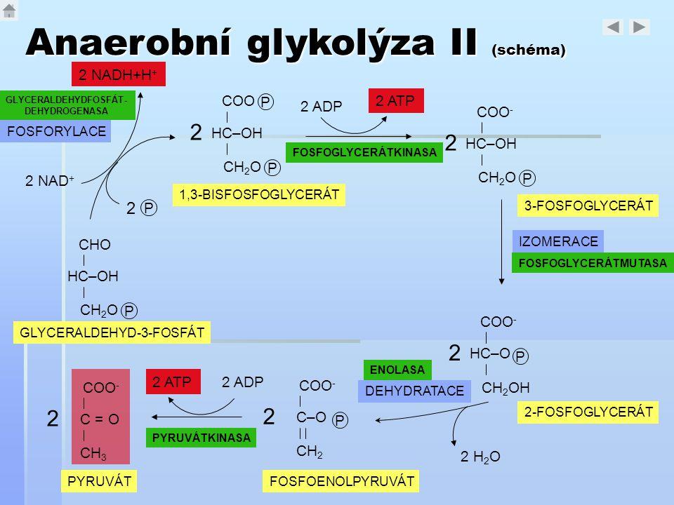 Anaerobní glykolýza II (schéma) CHO HC–OH CH 2 O P GLYCERALDEHYD-3-FOSFÁT 1,3-BISFOSFOGLYCERÁT P COO HC–OH CH 2 O P 2 COO - HC–OH CH 2 O P 2 3-FOSFOGL