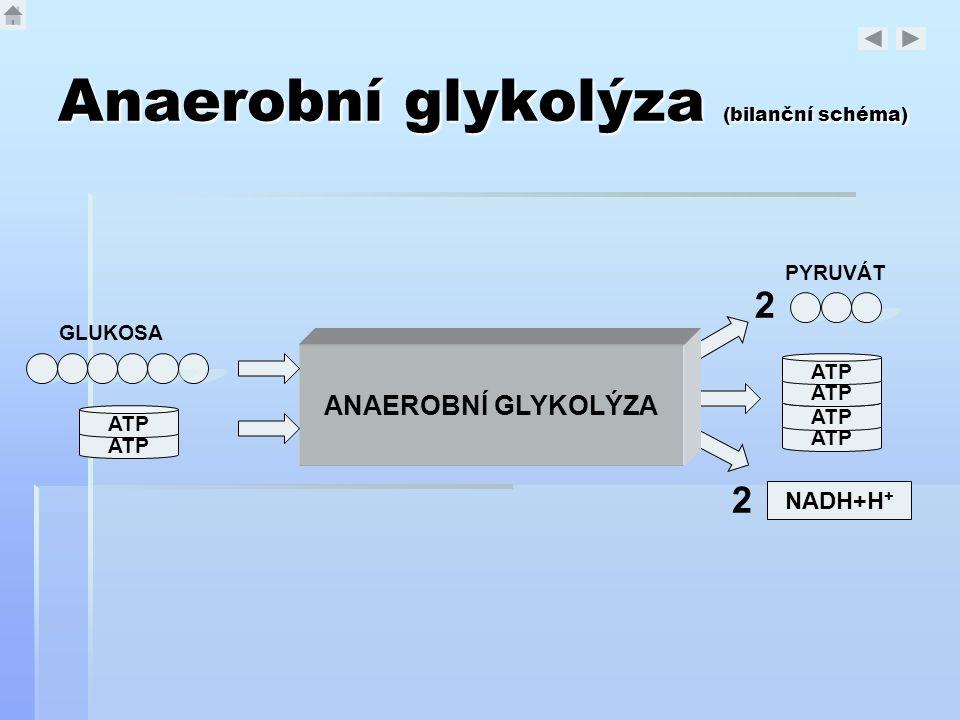Anaerobní glykolýza (bilanční schéma) ANAEROBNÍ GLYKOLÝZA GLUKOSA ATP PYRUVÁT 2 ATP NADH+H + 2