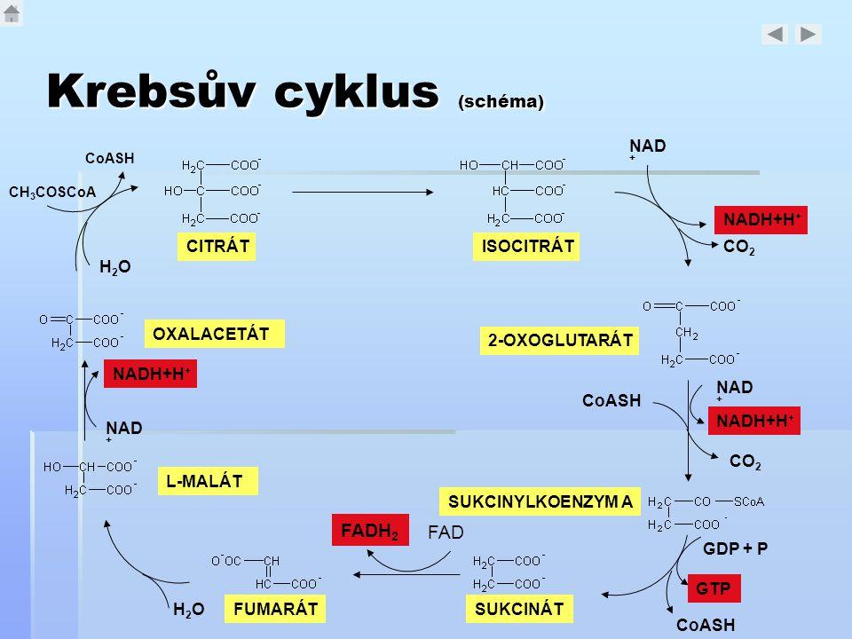 Krebsův cyklus (schéma) CITRÁTISOCITRÁT 2-OXOGLUTARÁT NAD + CO 2 NAD + NADH+H + CO 2 CoASH SUKCINYLKOENZYM A GDP + P GTP CoASH SUKCINÁT FADH 2 FAD FUM