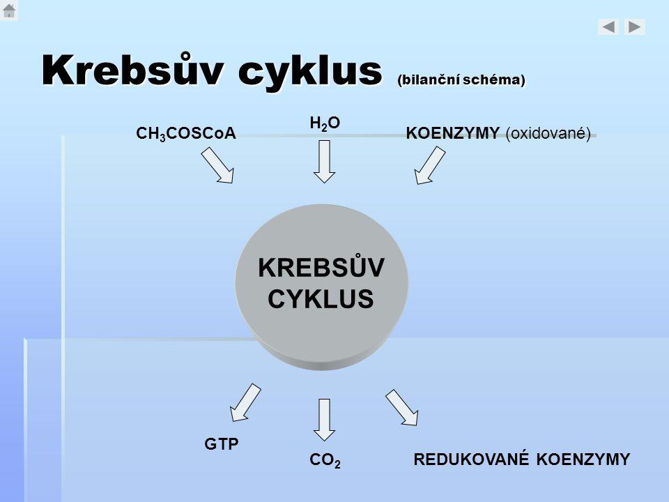 Krebsův cyklus (bilanční schéma) KREBSŮV CYKLUS CH 3 COSCoA H2OH2O KOENZYMY (oxidované) CO 2 REDUKOVANÉ KOENZYMY GTP