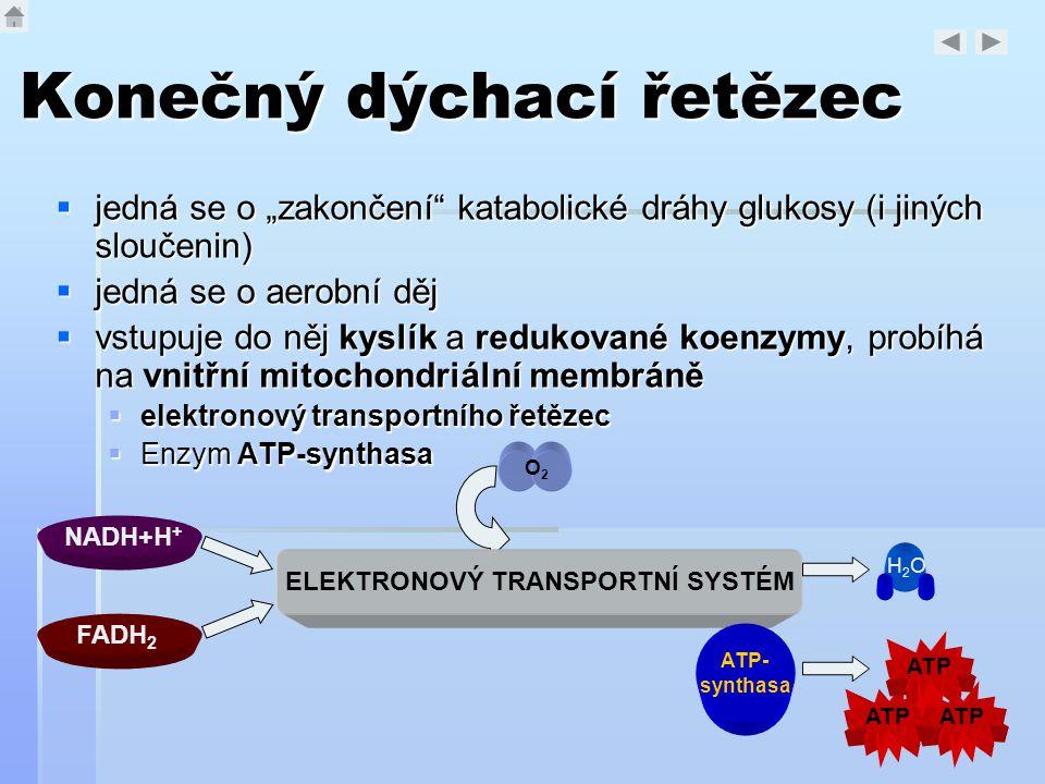 """Konečný dýchací řetězec  jedná se o """"zakončení"""" katabolické dráhy glukosy (i jiných sloučenin)  jedná se o aerobní děj  vstupuje do něj kyslík a re"""