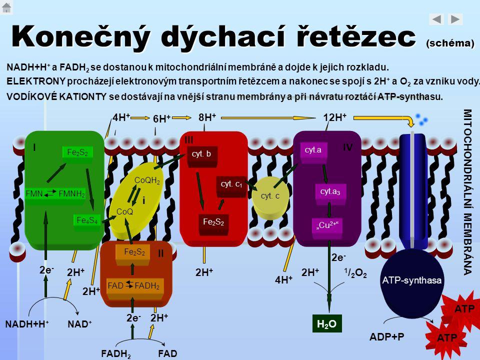"""cyt.a cyt.a 3 """"Cu 2+ """" IV cyt. b cyt. c 1 Fe 2 S 2 III I FMN FMNH 2 Fe 2 S 2 Fe 4 S 4 cyt. c CoQ i CoQH 2 FAD FADH 2 Fe 2 S 2 II Konečný dýchací řetěz"""