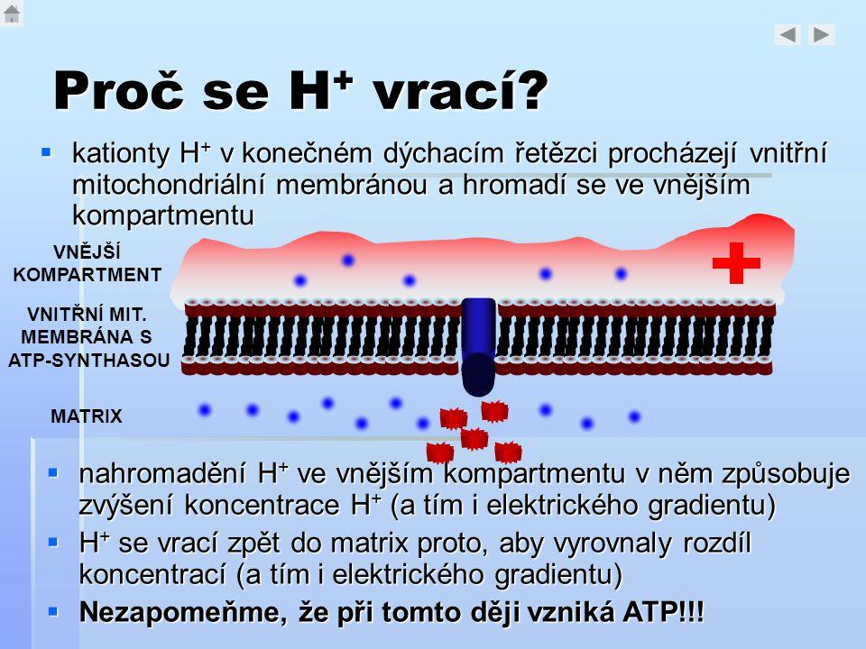 Proč se H + vrací?  kationty H + v konečném dýchacím řetězci procházejí vnitřní mitochondriální membránou a hromadí se ve vnějším kompartmentu VNITŘN
