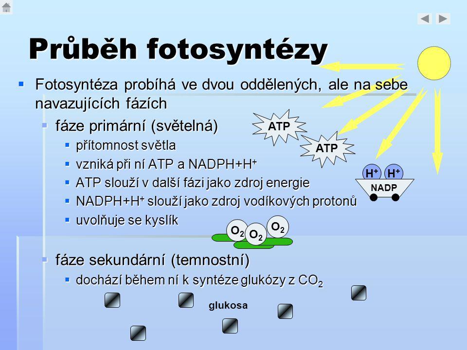 Průběh fotosyntézy  Fotosyntéza probíhá ve dvou oddělených, ale na sebe navazujících fázích  fáze primární (světelná)  přítomnost světla  vzniká p
