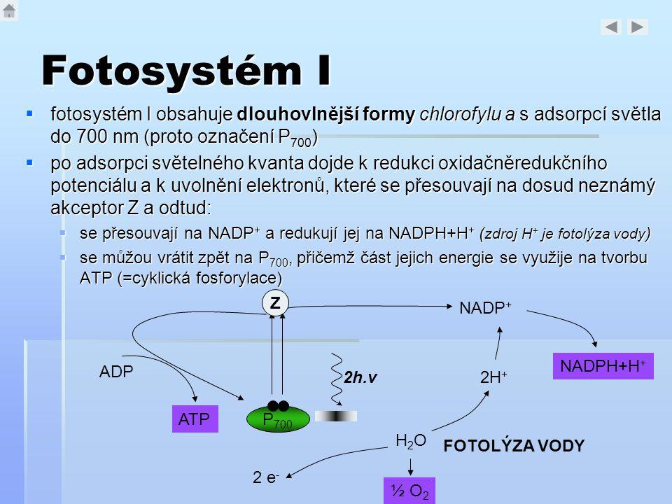 Fotosystém I  fotosystém I obsahuje dlouhovlnější formy chlorofylu a s adsorpcí světla do 700 nm (proto označení P 700 )  po adsorpci světelného kva