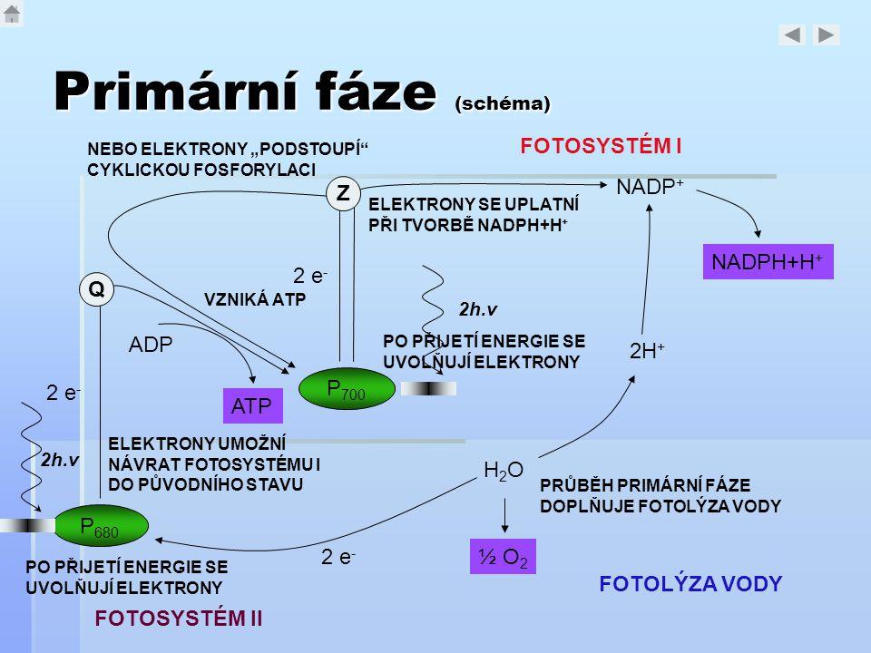 Primární fáze (schéma) P 700 P 680 NADP + NADPH+H + H2OH2O ½ O 2 2H + ADP ATP 2 e - PO PŘIJETÍ ENERGIE SE UVOLŇUJÍ ELEKTRONY ELEKTRONY SE UPLATNÍ PŘI