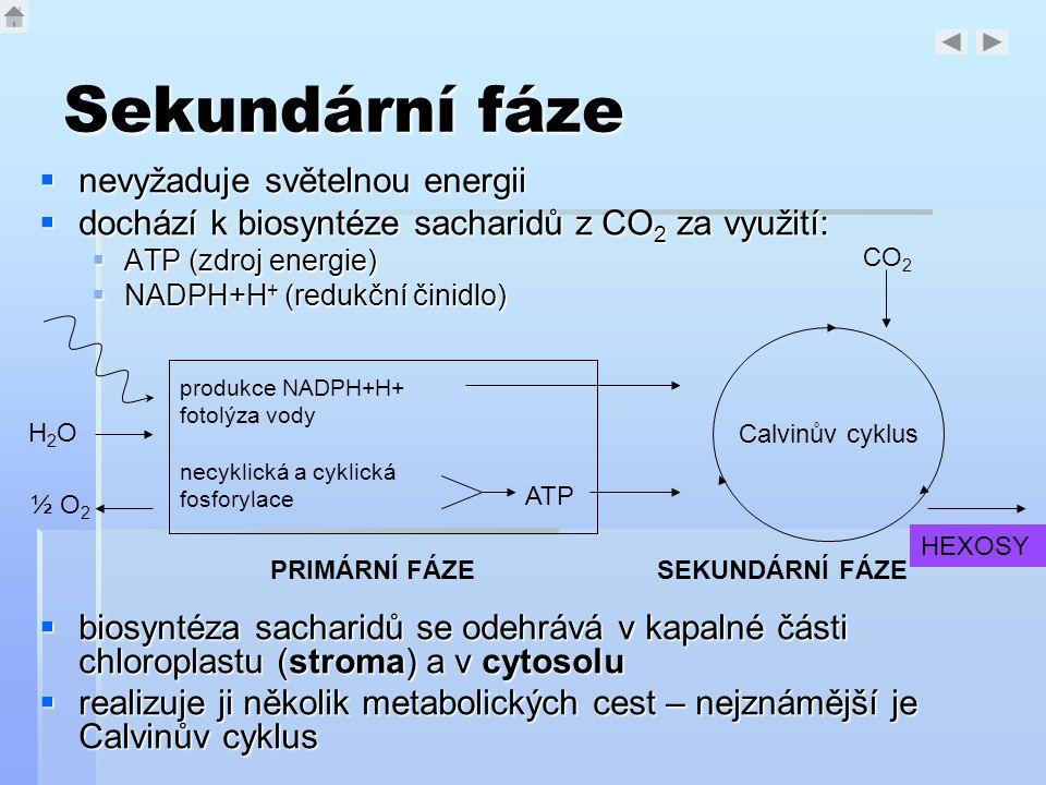 Sekundární fáze  nevyžaduje světelnou energii  dochází k biosyntéze sacharidů z CO 2 za využití:  ATP (zdroj energie)  NADPH+H + (redukční činidlo
