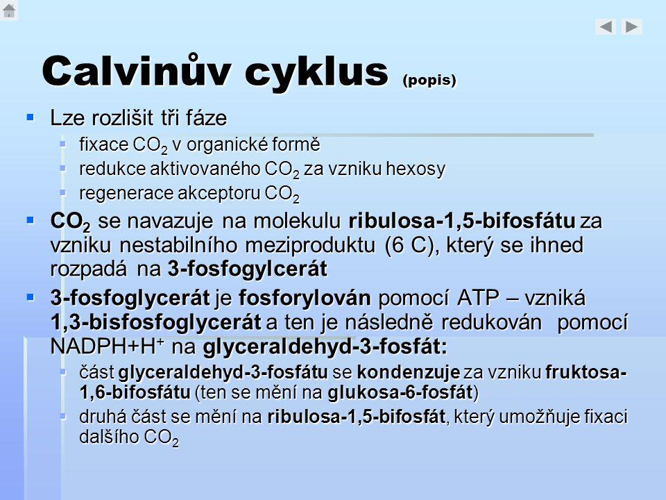 Calvinův cyklus (popis)  Lze rozlišit tři fáze  fixace CO 2 v organické formě  redukce aktivovaného CO 2 za vzniku hexosy  regenerace akceptoru CO
