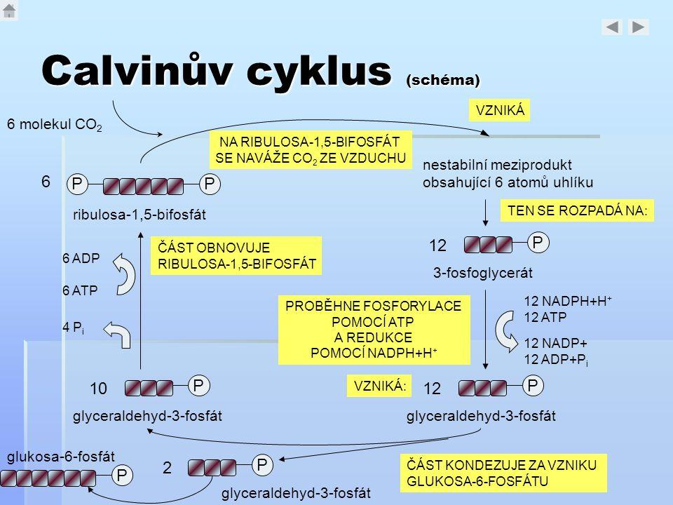 Calvinův cyklus (schéma) PP ribulosa-1,5-bifosfát nestabilní meziprodukt obsahující 6 atomů uhlíku 6 molekul CO 2 P 12 3-fosfoglycerát P 12 glyceralde