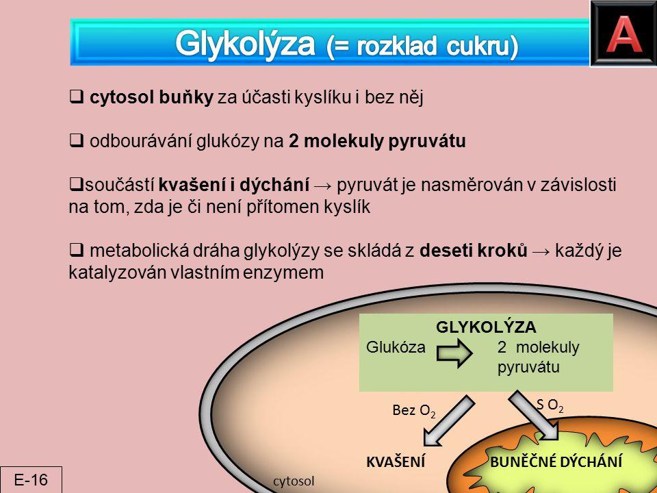  cytosol buňky za účasti kyslíku i bez něj  odbourávání glukózy na 2 molekuly pyruvátu  součástí kvašení i dýchání → pyruvát je nasměrován v závisl