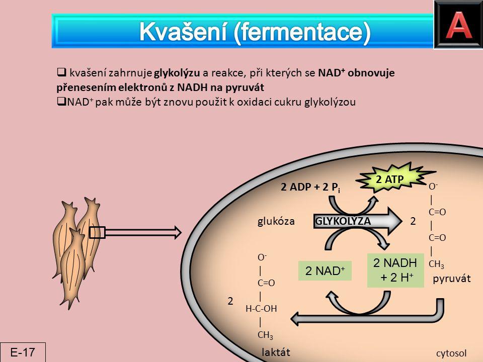 glukóza GLYKOLÝZA O - │ C=O │ C=O │ CH 3 2 pyruvát O - │ C=O │ H-C-OH │ CH 3 2 laktát 2 ADP + 2 P i 2 ATP 2 NAD + 2 NADH + 2 H + cytosol  kvašení zah