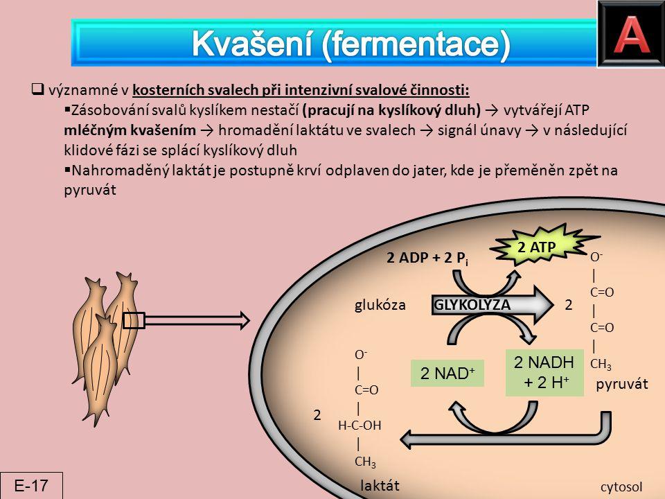 glukóza GLYKOLÝZA O - │ C=O │ C=O │ CH 3 2 pyruvát O - │ C=O │ H-C-OH │ CH 3 2 laktát 2 ADP + 2 P i 2 ATP 2 NAD + 2 NADH + 2 H + cytosol  významné v