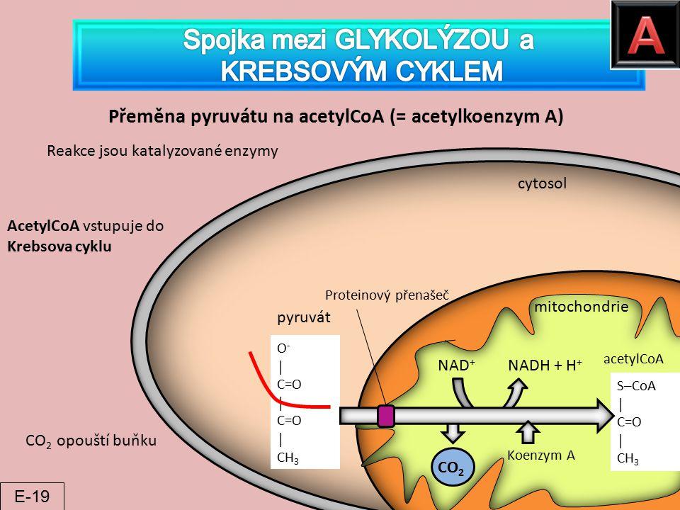 Přeměna pyruvátu na acetylCoA (= acetylkoenzym A) O - │ C=O │ C=O │ CH 3 pyruvát cytosol mitochondrie S─CoA │ C=O │ CH 3 Proteinový přenašeč CO 2 Koen