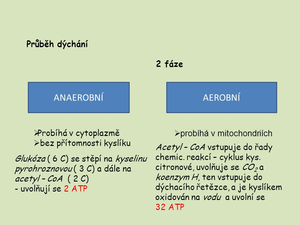 Průběh dýchání 2 fáze ANAEROBNÍAEROBNÍ  Probíhá v cytoplazmě  bez přítomnosti kyslíku Glukóza ( 6 C) se stěpí na kyselinu pyrohroznovou ( 3 C) a dál