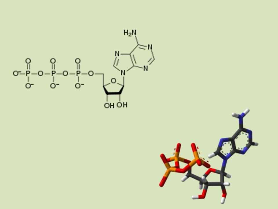 Fotosyntéza – anabolický procesDýchání – katabolický proces Energie se spotřebováváEnergie se uvolňuje Zásobní látky se hromadí = hmotnost rostliny roste Zásobní látky se odbourávají = hmotnost rostliny se snižuje O 2 se uvolňuje O 2 se spotřebovává Probíhá jen na světleProbíhá na světle i ve tmě Probíhá jen v buňkách s fotosyntetickými barvivy Probíhá ve všech buňkách CO 2 do reakce vstupujeCO 2 se z reakce uvolňuje