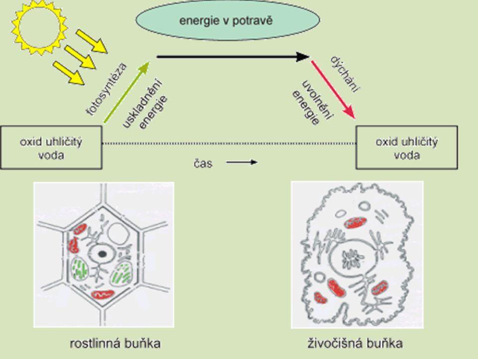 Průběh fotosyntézy : Dvě fáze : Primární Sekundární  probíhá pouze ze světla  barviva zachytí sluneční energii  e.