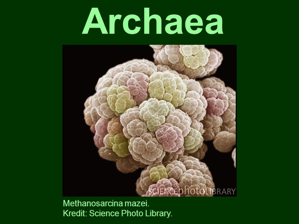jednotné č.archeon, také archebakterie 1 ze 3 hlavních domén života, rozlišená r.