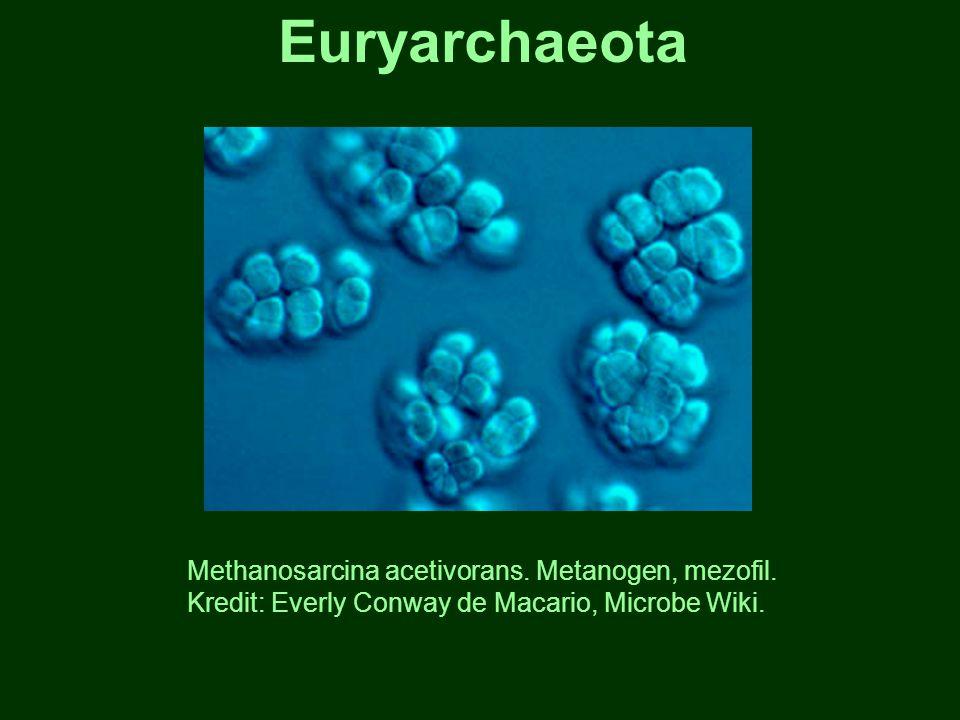 Euryarchaeota Methanosarcina acetivorans. Metanogen, mezofil. Kredit: Everly Conway de Macario, Microbe Wiki.
