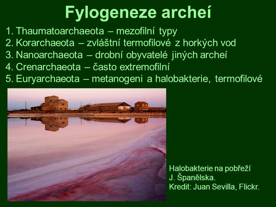 Euryarchaeota Archaeoglobus veneficus.Hypertermofil, tvoří odolné biofilmy.