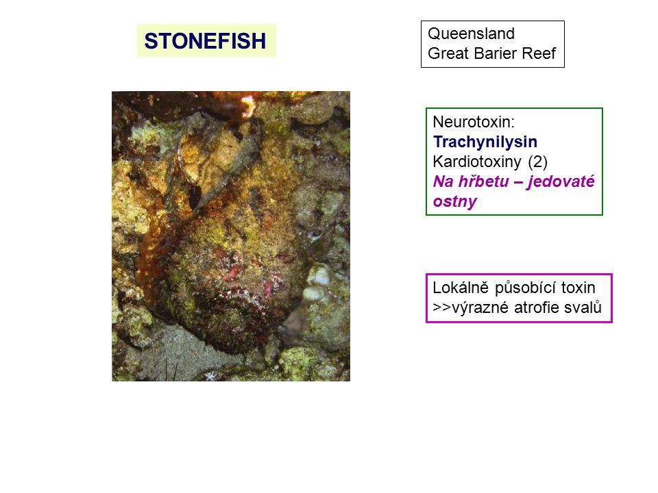 STONEFISH Queensland Great Barier Reef Neurotoxin: Trachynilysin Kardiotoxiny (2) Na hřbetu – jedovaté ostny Lokálně působící toxin >>výrazné atrofie