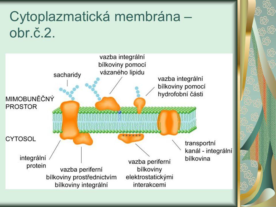 Cytoplazma Viskózní, koncentrovaný roztok malých a velkých molekul, enzymů a jejich substrátů.